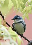 Cerulean Warbler on West 89th St Manahattan