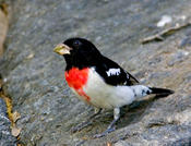 Rose-breated Grosbeak