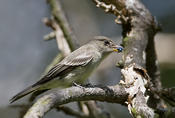 Eastern-wood Pewee w/Insect