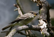 eastern woood pewee 3.jpg