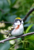 Chesnut-sided Warbler singing