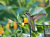 ruby-throated hummingbird 2.jpg