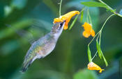 ruby-throated hummingbird 3.jpg
