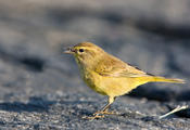 Palm Warbler with bug