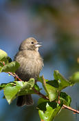 brown-headed cowbird 1.jpg