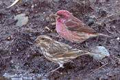 Purple Finch (male and female)