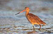 Marbled Godwit @ Sunset