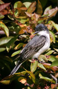 eastern kingbird 2a.jpg