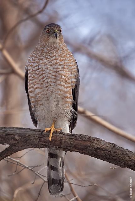 cooper's hawk 3.jpg