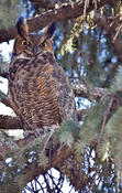 great horned owl 2.jpg
