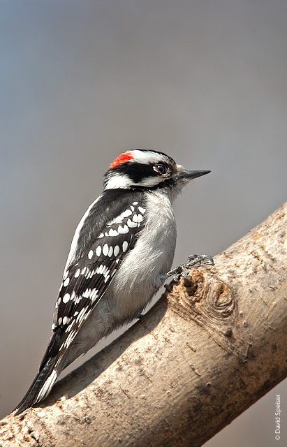 downy woodpecker 1.jpg