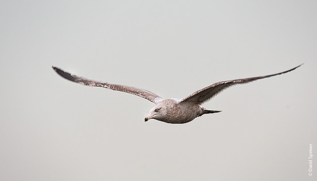 herring gull 3.jpg