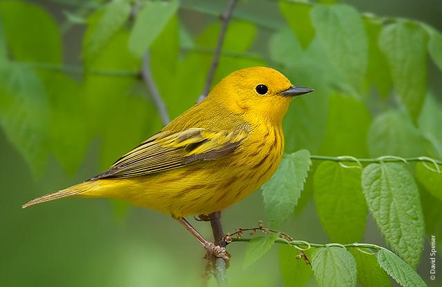 yellow_warbler.jpg