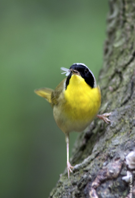 Common Yellowthroat with Termite