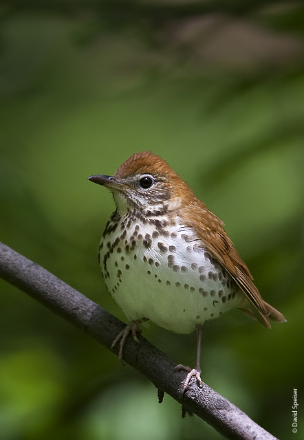 thrushes images