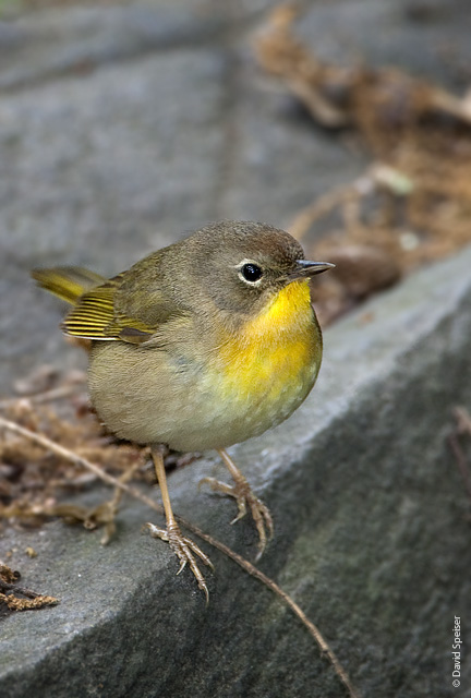 Common Yellowthroat (female)