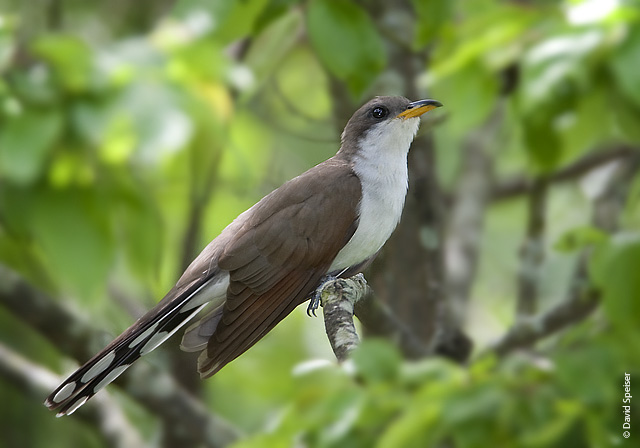 Protect the Western Yellow-billed Cuckoo from Extinction