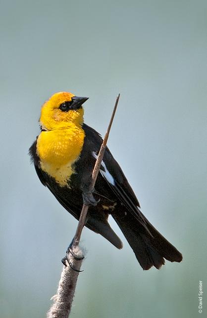 Yellow Headed Blackbird Lilibirds