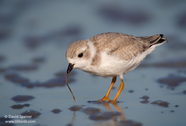 Piping Plover (Juvenile)