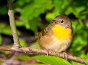 common yellowthroat 1.jpg