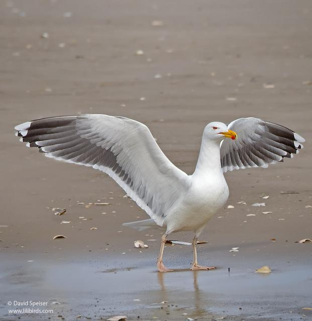 great black-backed gull 3