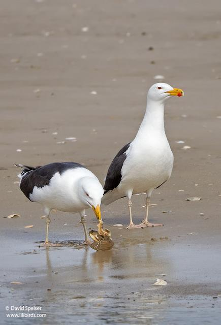 great-black-backed gull 4