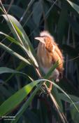 Least Bittern (Fledgling)