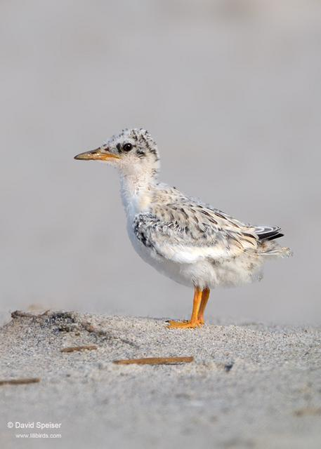 Least Tern (chick)