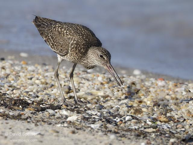 Willet (with horseshoe crab egg  in bill)