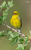 Blue-winged Warbler (backcross)