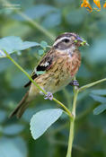 rose brested grosbeak 1a 1024 ws