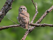 barred owl 1 1024 ws