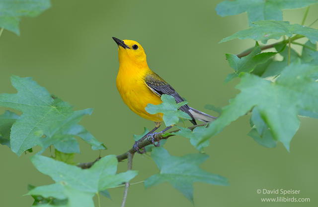 prothonotary warbler 1b 1024 ws