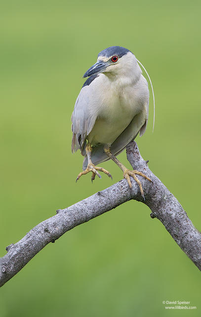 black-crowned night heron 1a ws 1024