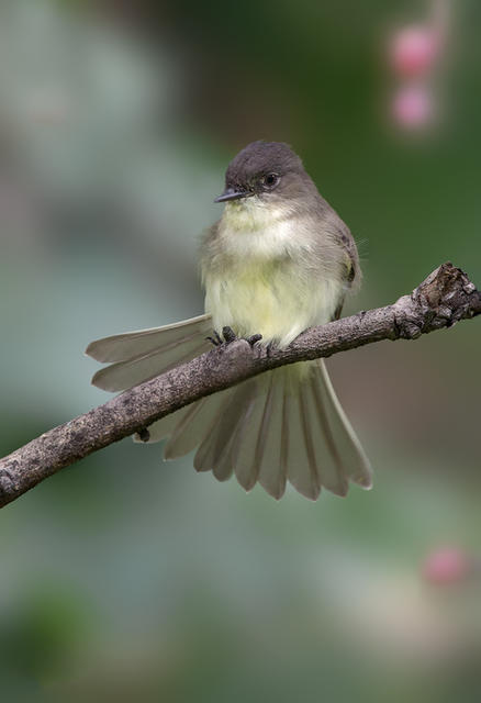 eastern phoebe 1a 1024 2013 ws