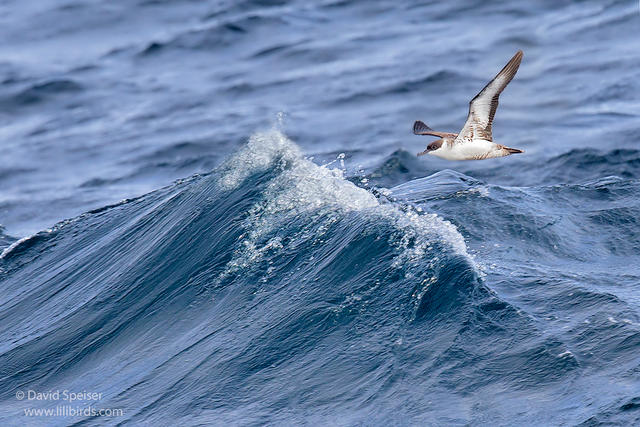 great shearwater 1a ws