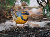 varied thrush 1c 1024 ws