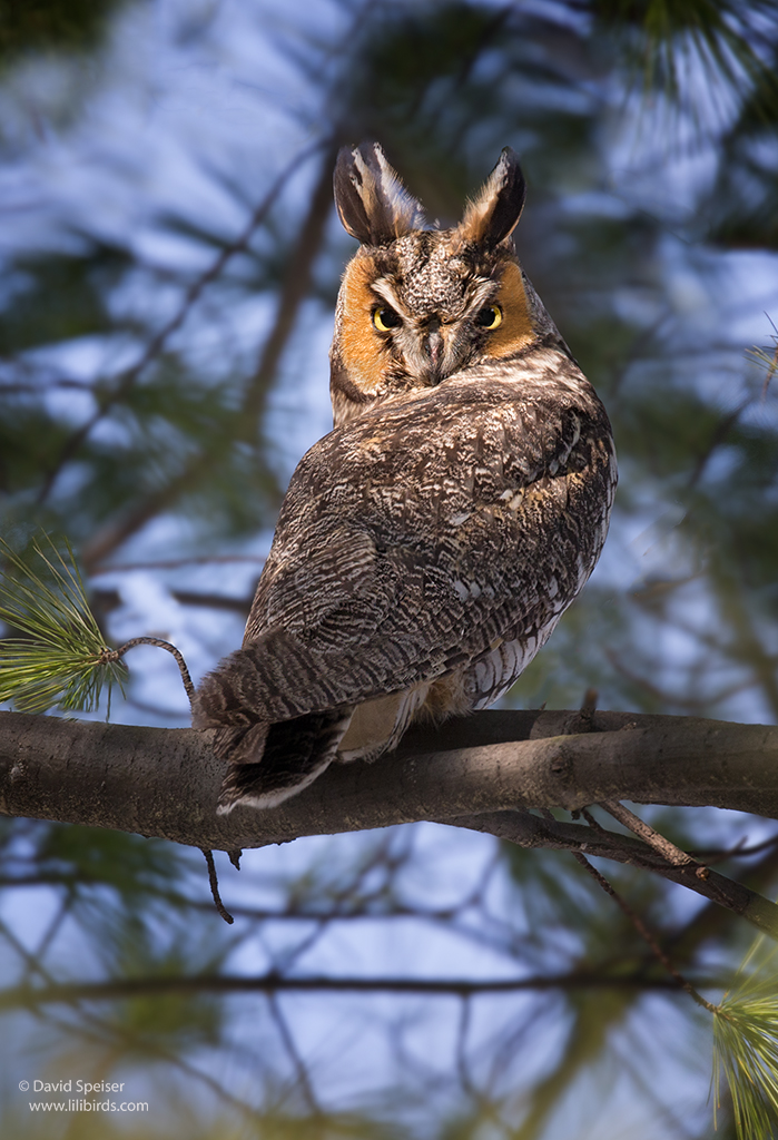 long eared owl 1b 1024 ws