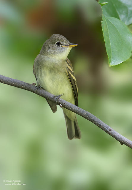 yellow bellied flycatcher 1 ws