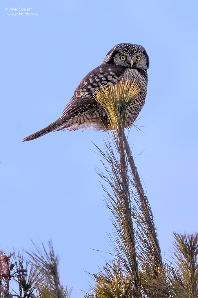 northern hawk owl 4 1024 ws