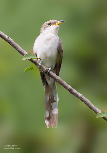 yellow billed cuckoo 1 ws