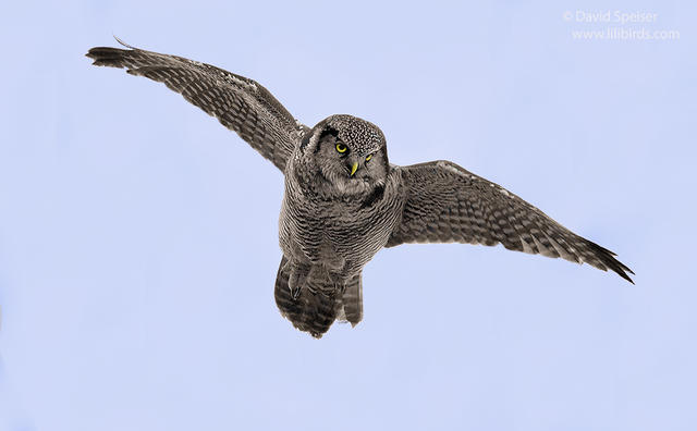 northern hawk owl 2e 1024ws