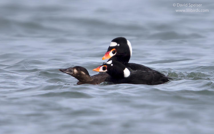 surf scoter 2 1024 ws