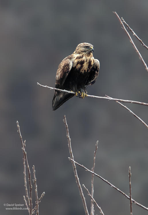 rough legged hawk 1 1024 ws