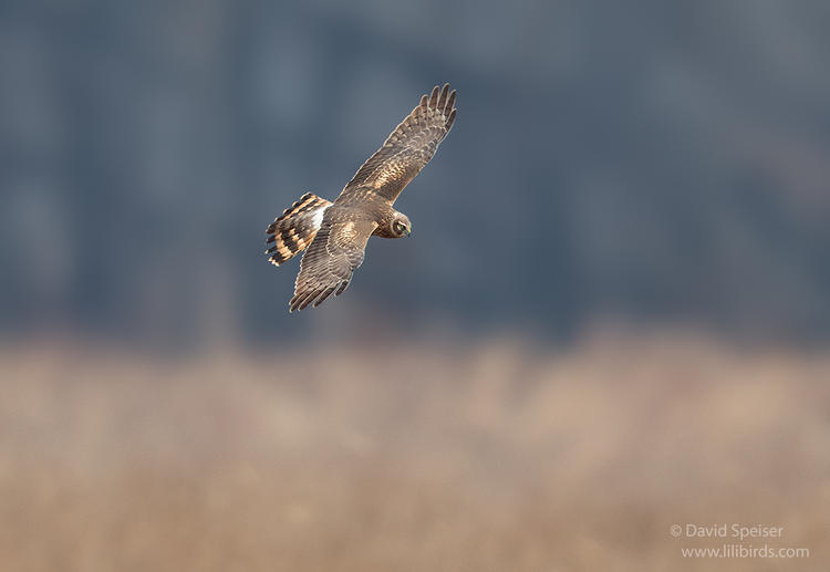 northern harrier 1 oil city 1024 ws