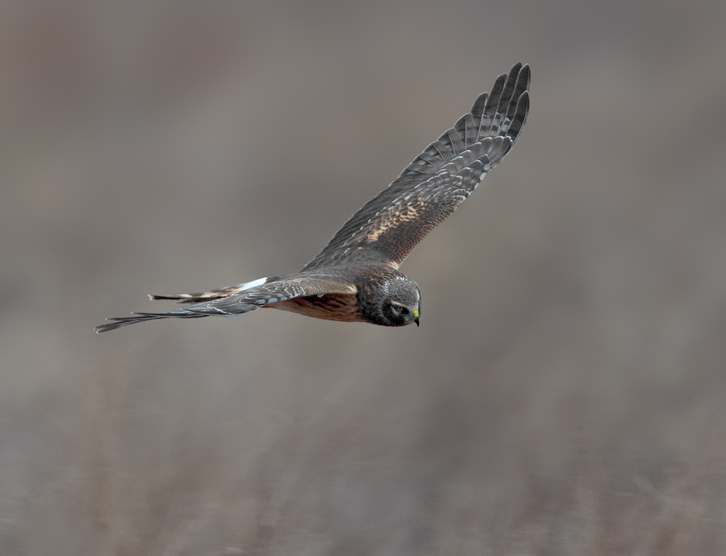 northern harrier 2a oil city 1024