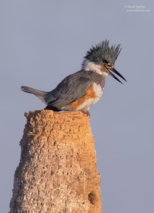 belted kingfisher 2 1024 ws