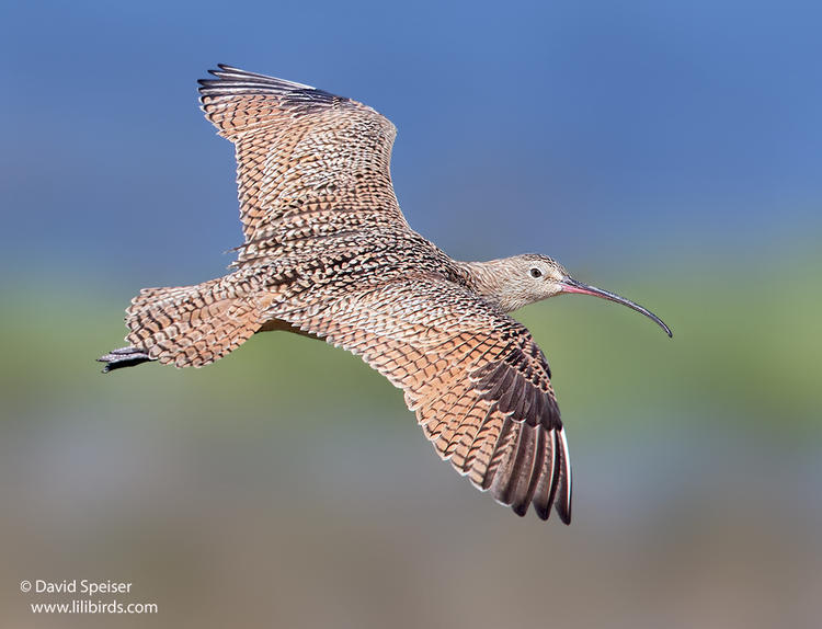 long-billed curlew 1c 1024 ws