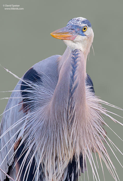 great blue heron 1 1024ws