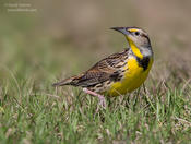 eastern meadowlark 1 1024 ws